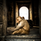 Nepal - Monkey meditating